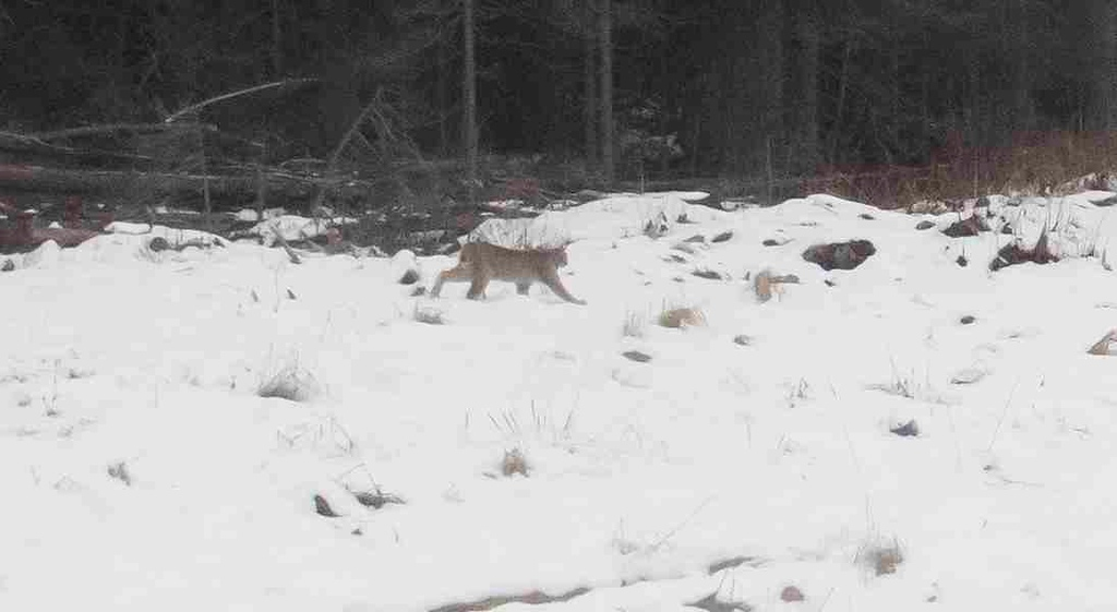 Rare lynx sighting on the way back from the Babine